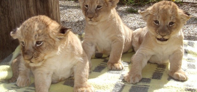 Még két héten keresztül látogathatod az oroszlánkölyköket