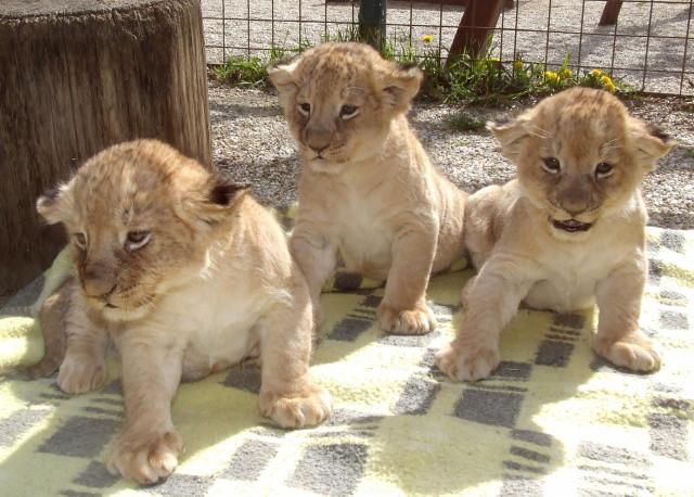 oroszlán, oroszlánok