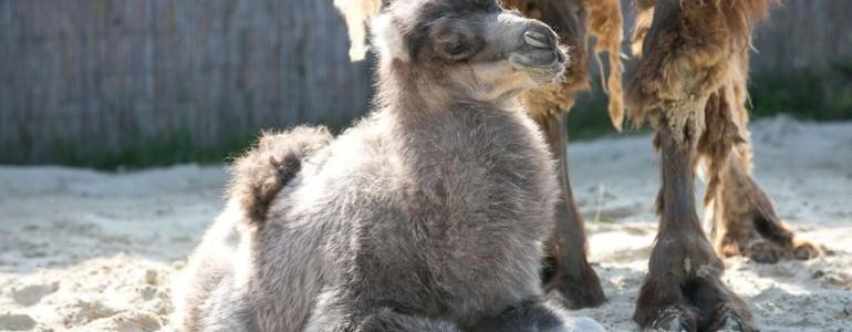Szépen fejlődik a Veszprémi Állatkert tevecsikója