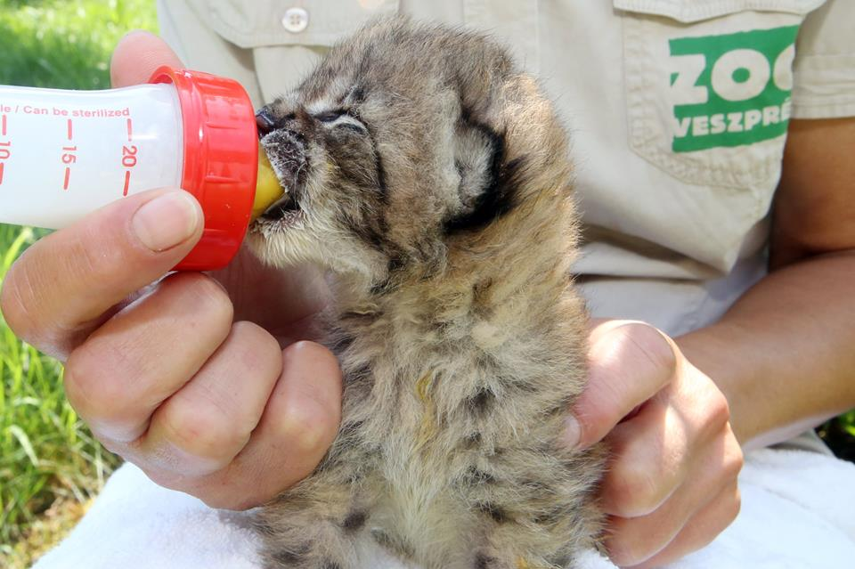 A Veszprémi Állatkert hiúzbébije volt ma a legcukibb