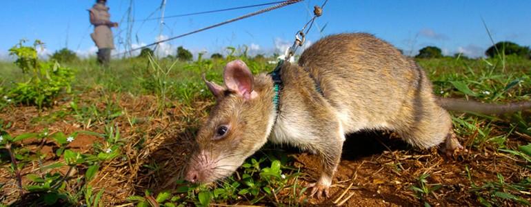 Óriáspatkányok szagolják ki az afrikai aknamezőket