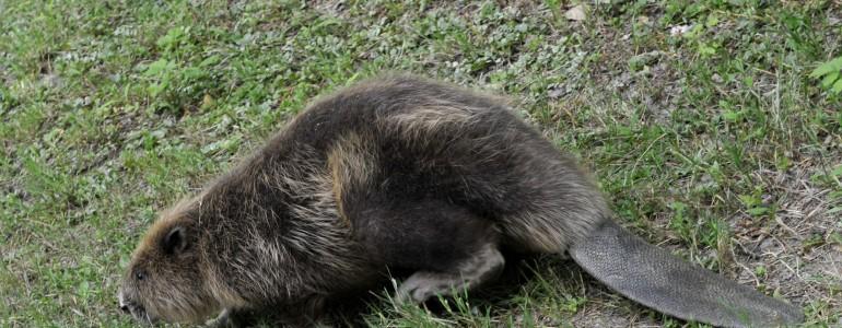 Visszaengedték a természetbe a korábban Budapesten talált hódot