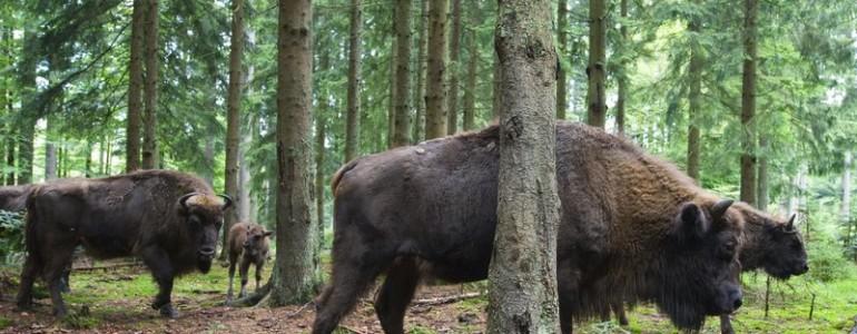 Szabadon engedik a Szárkő hegységbe telepített bölényeket