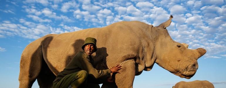 Fotókon a világ utolsó fehér rinocéroszai