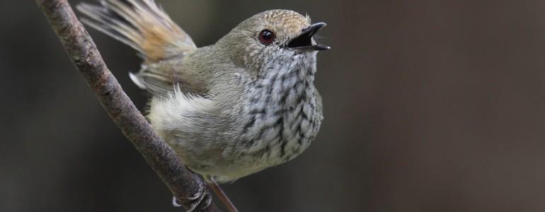 Más madarak hangját utánozza, hogy megvédje a fészkét