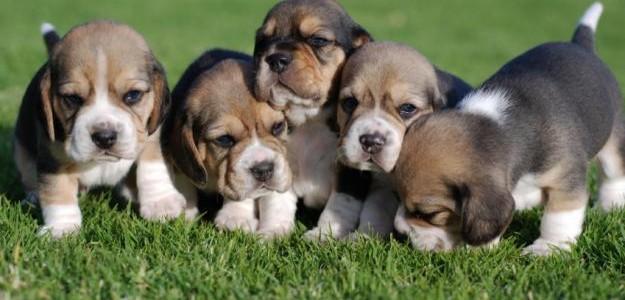 A beagle volt a sztár