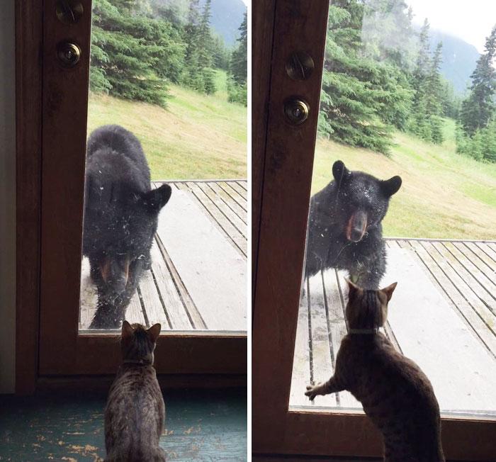 macska, medve