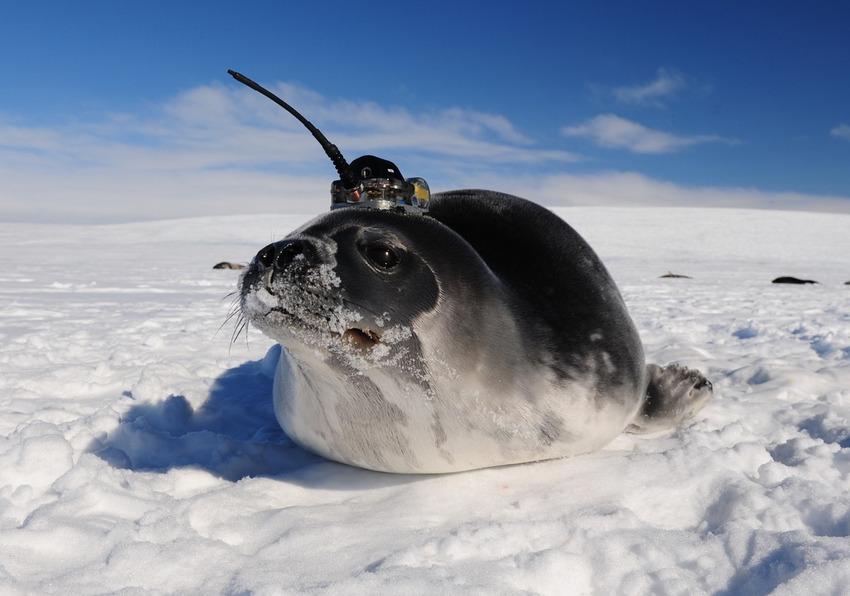 Tengeri emlősök segítenek felfedezni az óceán titkait