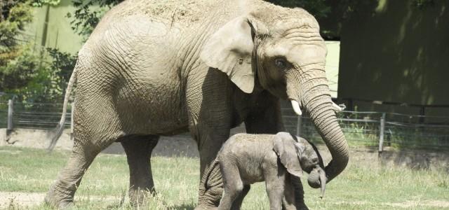 Már a kifutóban látható az elefánt bébi