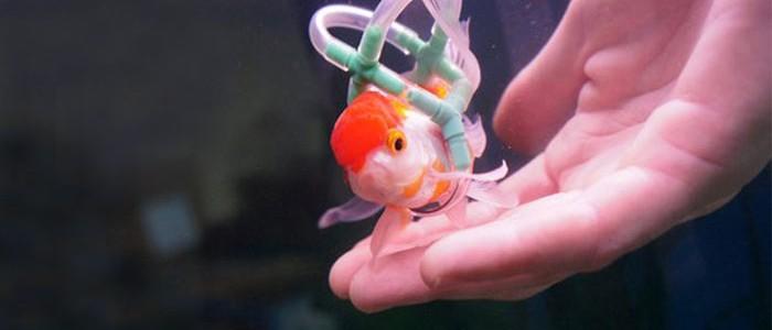 """Saját készítésű """"tolószékkel"""" mentette meg az aranyhal életét"""