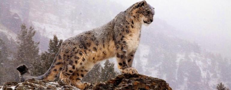 A hópárducok védelmében