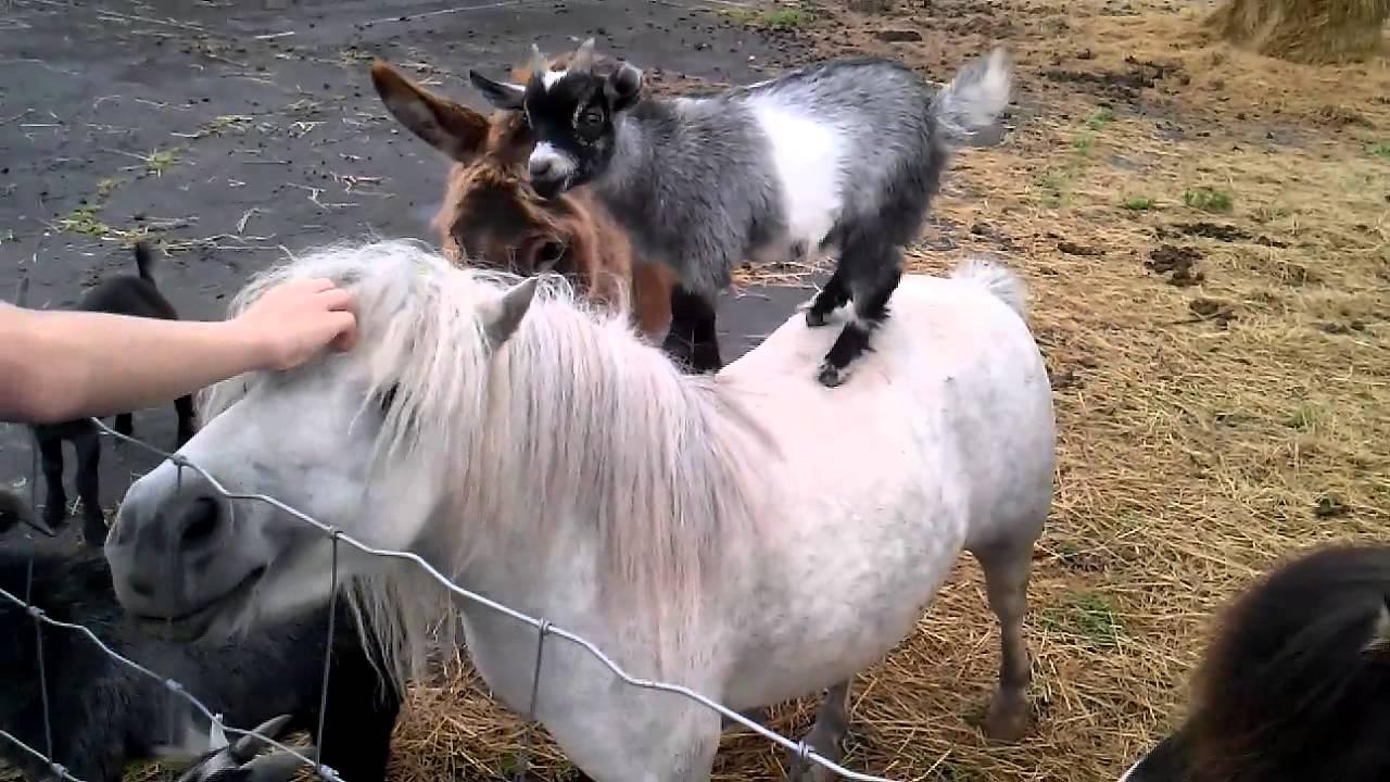 ló, kecske