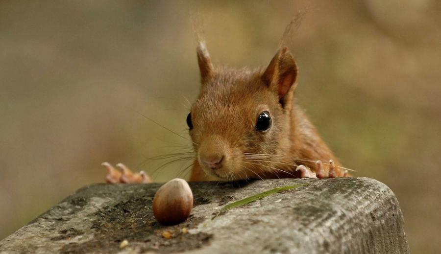Így dorombolnak a mókusok