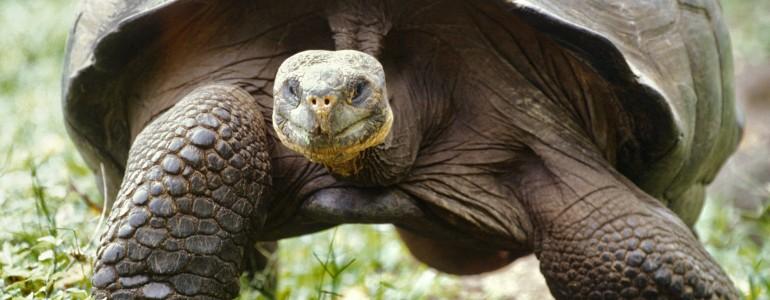 Óriásteknősökkel népesítik be újra a galápagosi Santa Fé szigetét