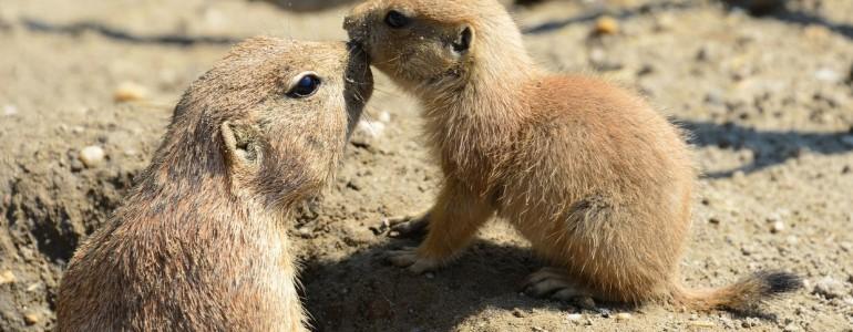 Végre előbújtak a Fővárosi Állatkertben született prérikutya kölykök