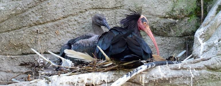 Kritikusan veszélyeztetett fiókák születtek a Fővárosi Állatkertben