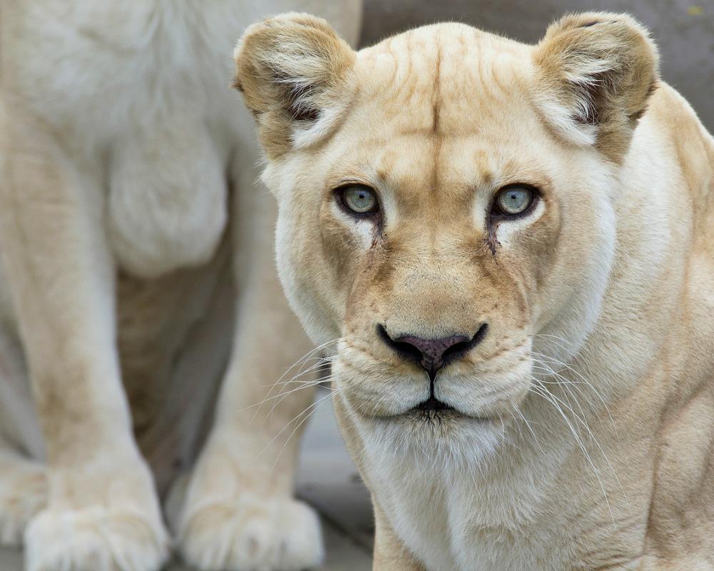 fehér oroszlán, oroszlán
