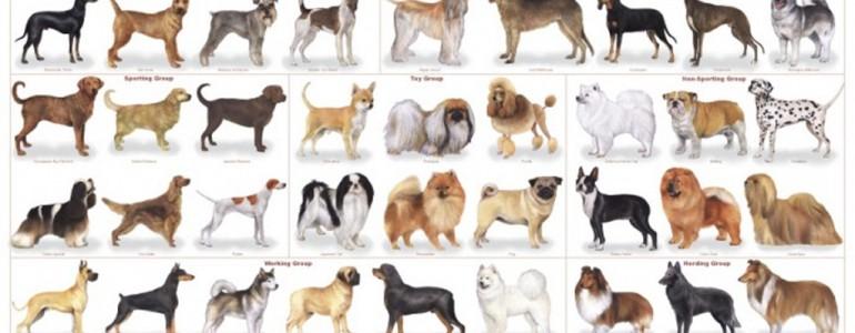 Az 5 legkedveltebb, de kezdőknek semmiképp sem ajánlott kutyafajta