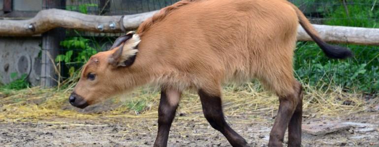 Vörös vadbivaly borjú a budapesti állatkertben