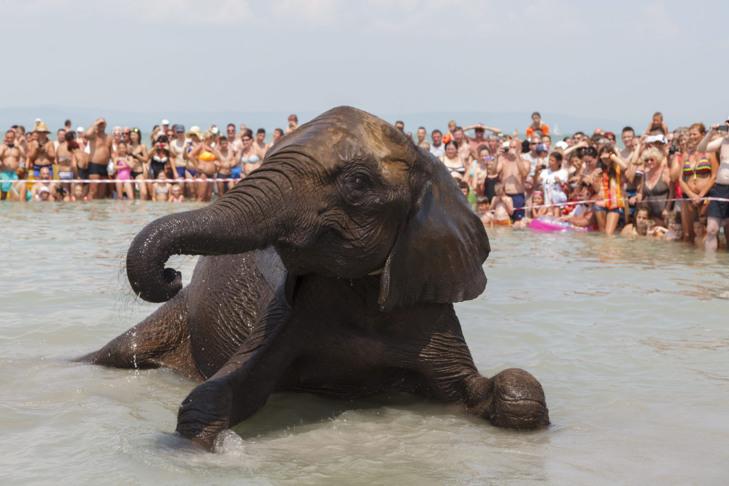 Így fürödtek az elefántok a Balatonban