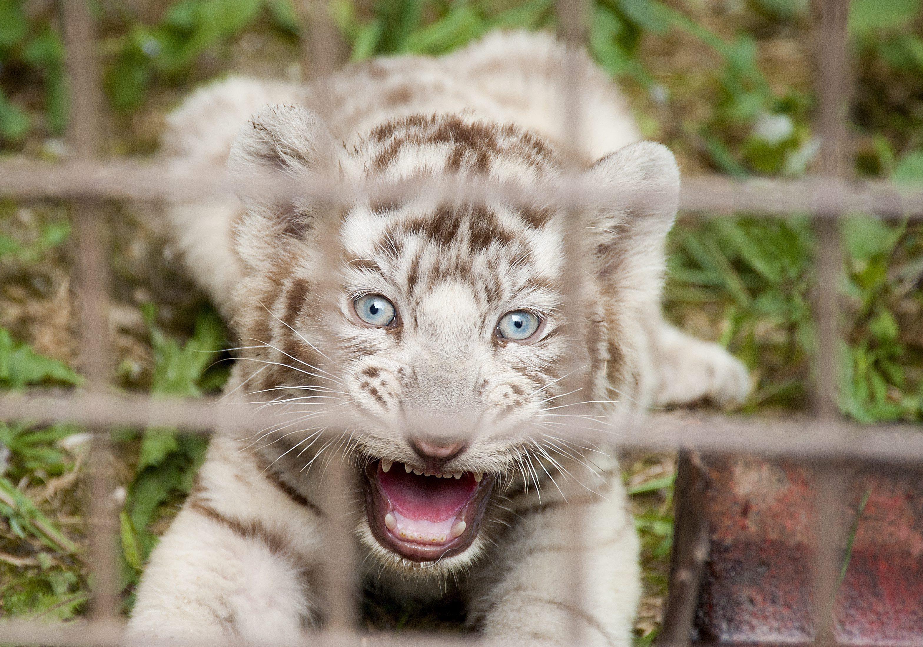Egyesült a bengáli tigriscsalád a Győri Állatkertben