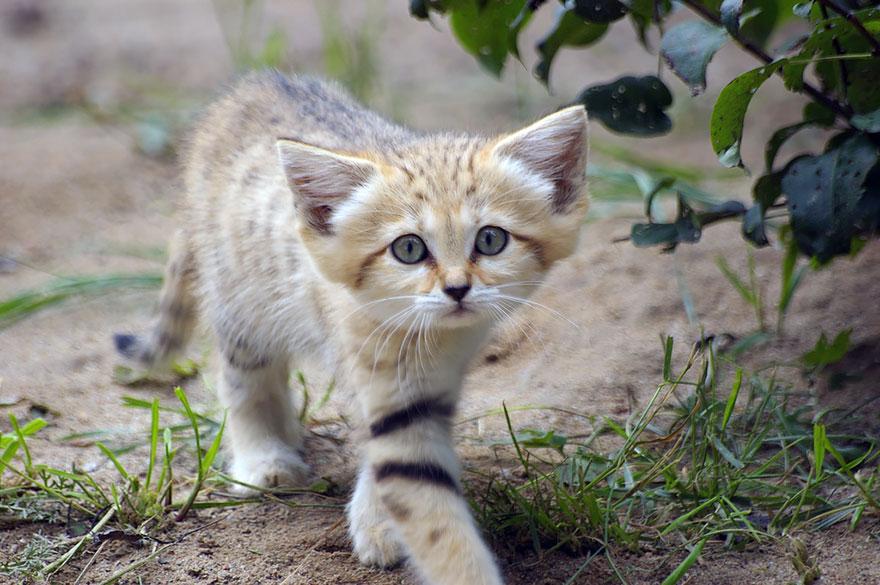 Milyen állat a homoki macska, és miért olyan különleges?