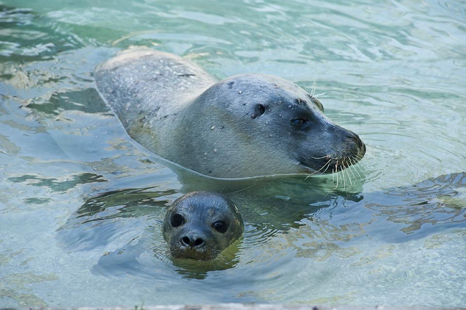 Nevezd el a Nyíregyházi Állatpark fókabébijét!