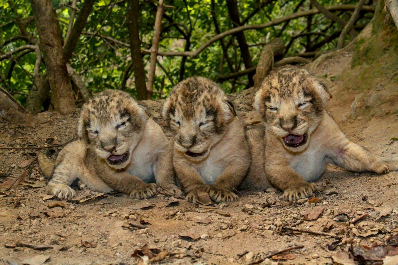 Tizenegy kihalás fenyegette ázsiai oroszlán született Indiában