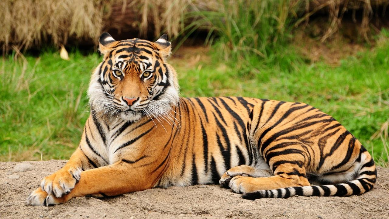 Mindössze száz bengáli tigris maradt a bangladesi Sundarbans erdőben