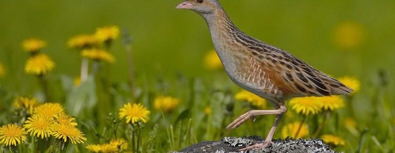 Hariskereső túrákat szervez a madártani egyesület
