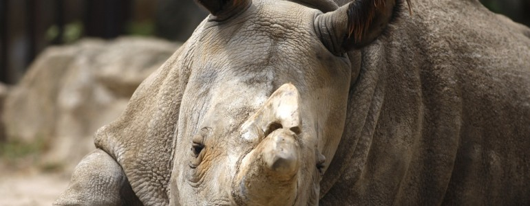 Elpusztult Nabire, az utolsó szélesszájú orrszarvúk egyike