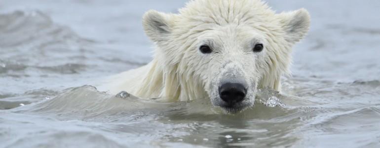 Néhány évtized múlva eltűnhetnek a jegesmedvék a Föld színéről