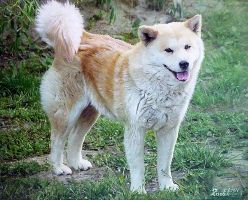 akita kutya