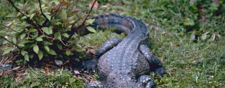 Tucatnyi védett aligátort engedtek szabadon Kelet-Kínában