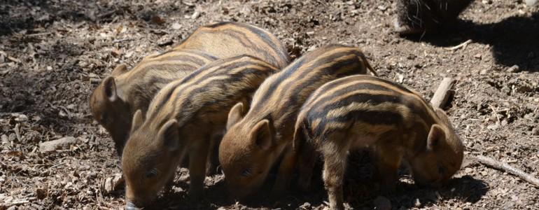 Cseperednek az állatkölykök Budakeszin