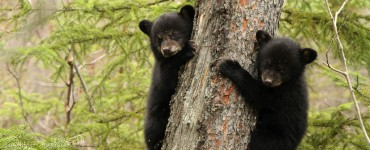 feketemedve