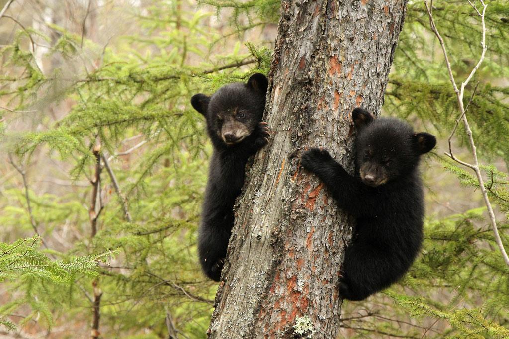 feketemedve Kínában