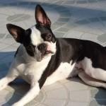 boston terrier kutya
