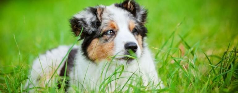 Miért eszik füvet a kutyám?