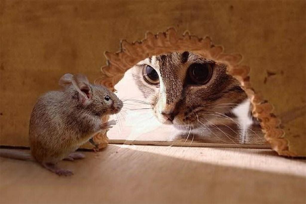 macska, egér