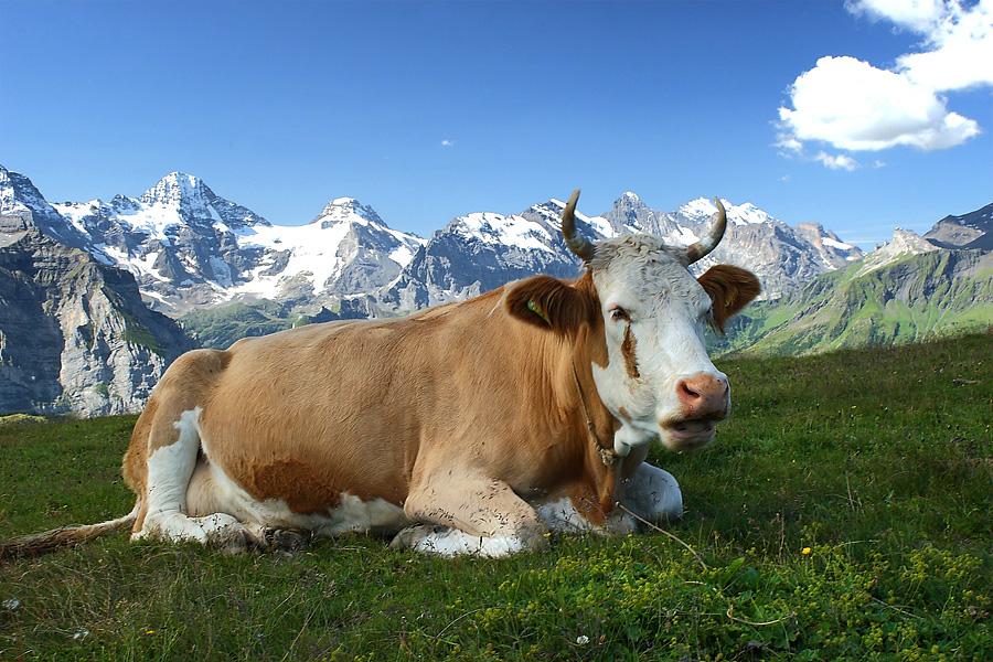 A hadsereg gondoskodik Svájcban a tehenek jólétéről