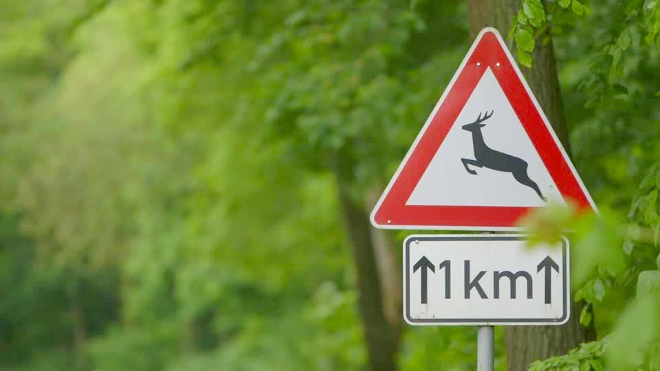 Veszélyt jelent az őzek násza az autósokra