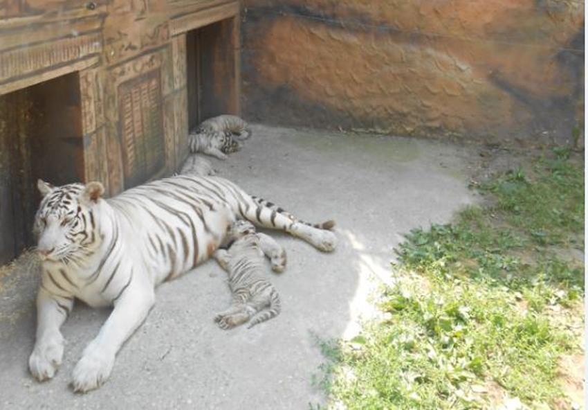 Győr tigris