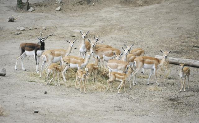 indiai antilop