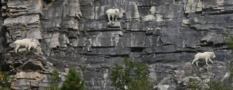 Hegyi kecskék: a meredek kőfalak ügyes akrobatái