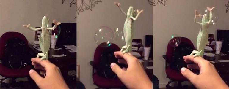 Ennek a kaméleonnak az a hobbija, hogy buborékokat pukkaszt