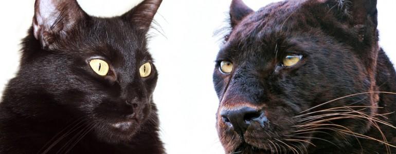 10 dolog, amiben a háziasított cicák és a nagymacskák hasonlítanak
