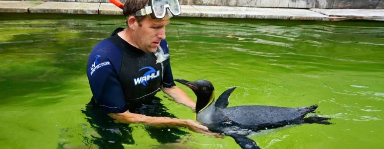 Állatkerti gondozó tanítja meg úszni a pingvint