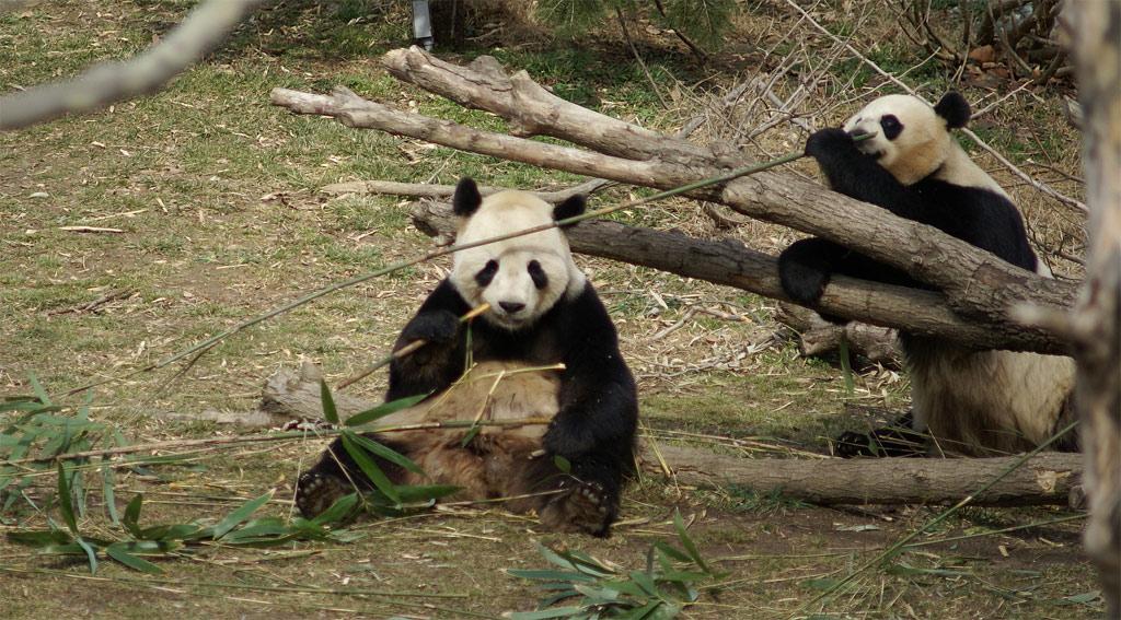 panda, óriáspanda
