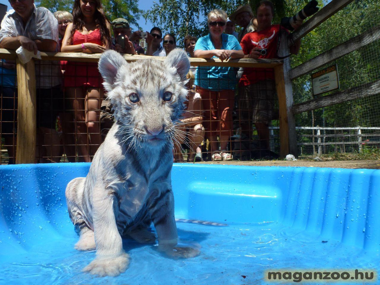 shakira, bengáli tigris